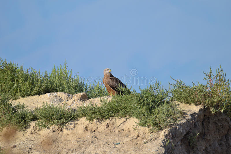 Greater spotted eagle is resting in the foothills royalty free stock image