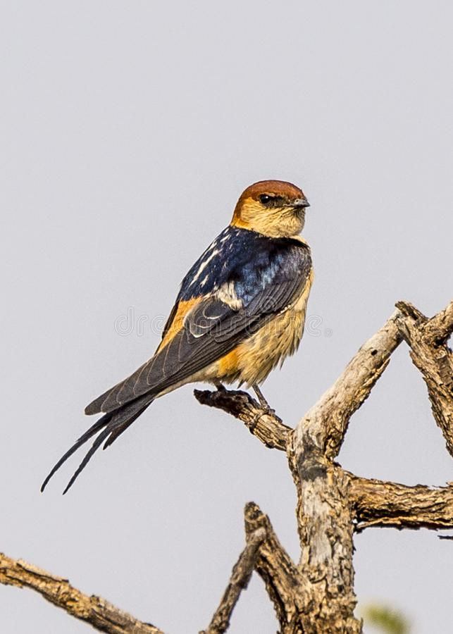 Greater Striped Swallow. A Greater Striped Swallow in Dusternbrook Cheetah Manor of Namibia stock image