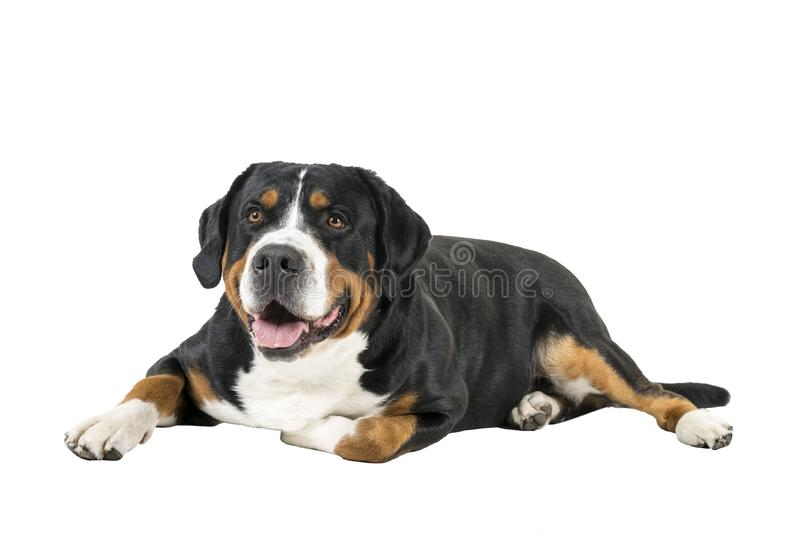 Greater Swiss Mountain Dog Lying Down Sideways And Looking