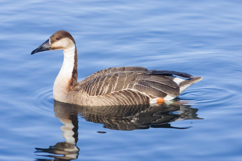 Greater white-fronted goose Anser albifrons swimming in pond close-up portrait with reflection, selective focus stock photo