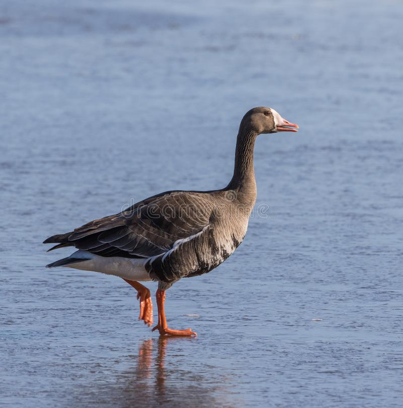 Greater White-fronted Goose stock photos