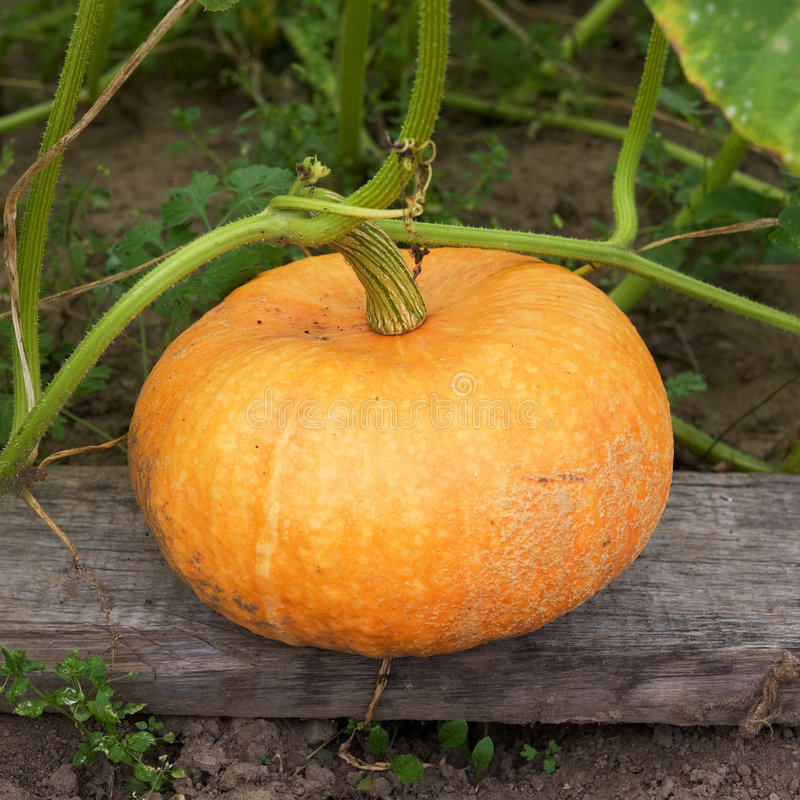 Greater yellow pumpkin. Photographed on a bed royalty free stock photos