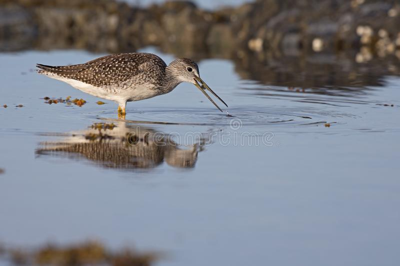Greater yellowlegs feeding on crustaceans. A greater yellowlegs catching and swallowing small crustaceans in shallow waters royalty free stock images