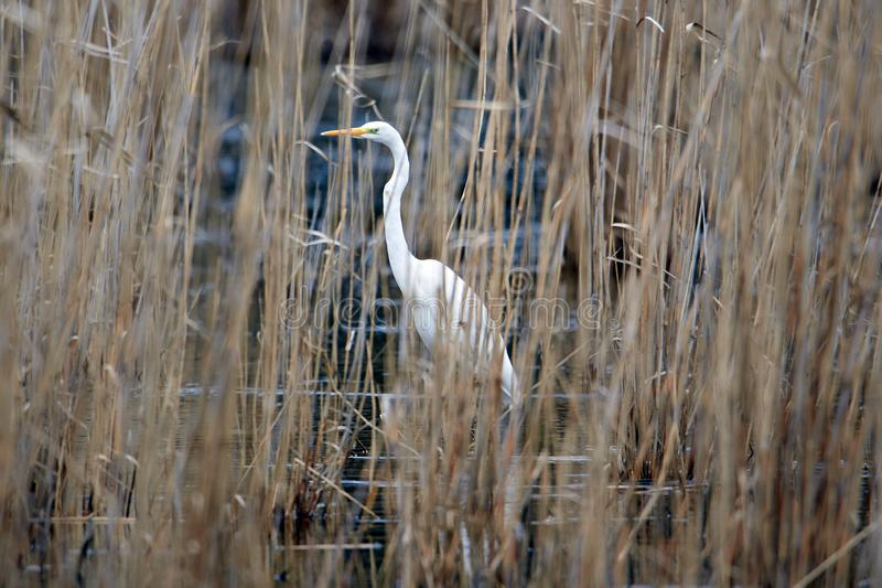 Great White Egret hid in the reeds on the lake. GreatWhite Egret hid in the reeds royalty free stock photography