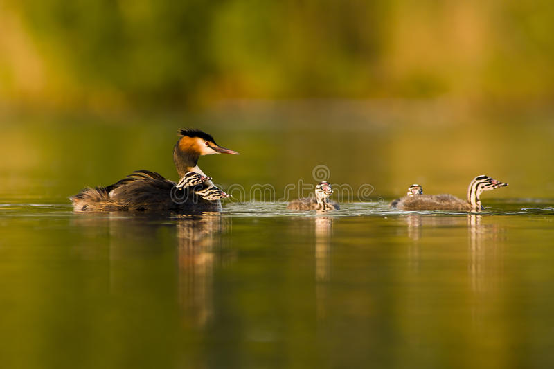 Grebe crêté grand photos libres de droits