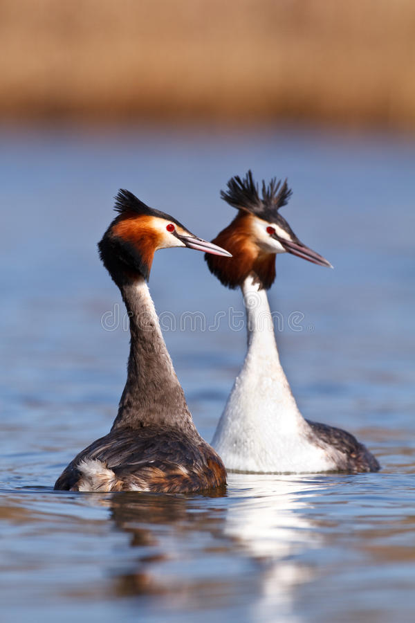 Grebe crêté grand image stock