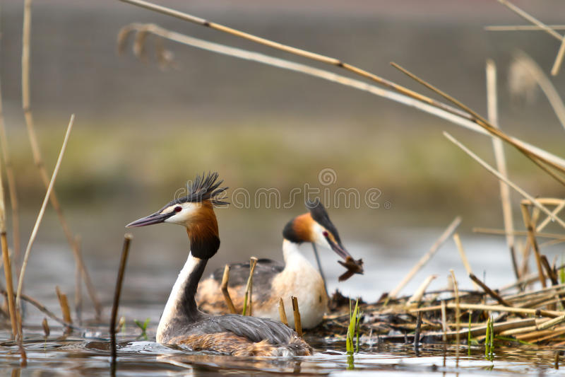 Grebe crêté grand images stock
