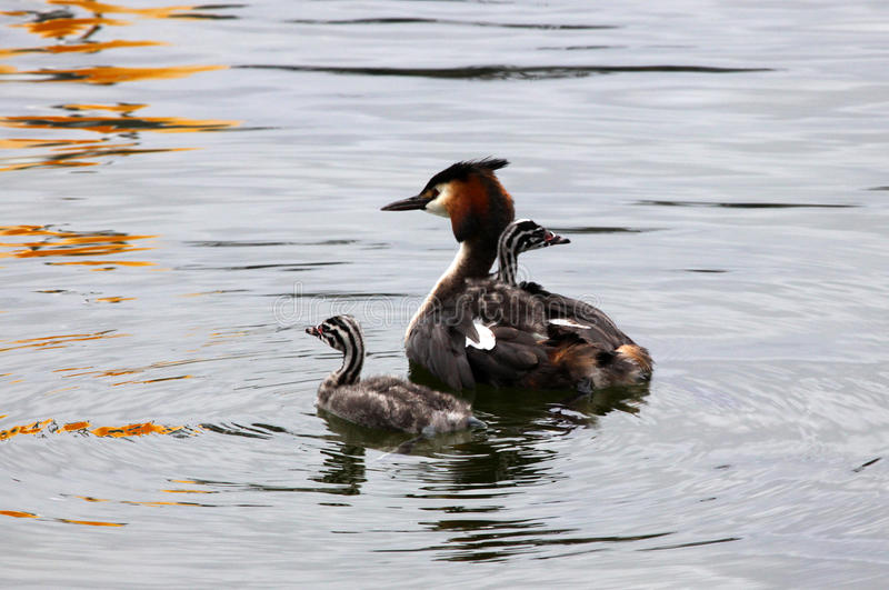 Grebe swim around. With the kids on their backs stock photography