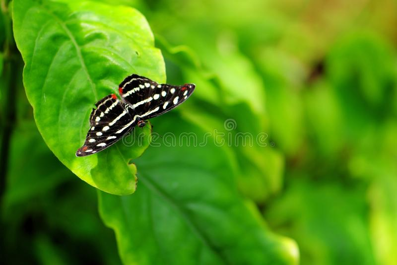 Grecian Shoemaker Butterfly Royalty Free Stock Photo