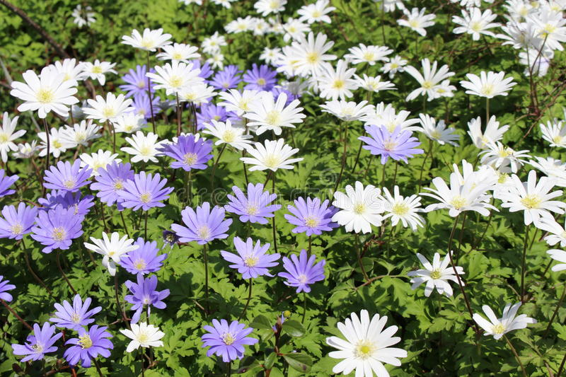 Grecian Windflowers - Anemone Blanda. Blue and white `Grecian Windflowers` or Balkan Anemone, Winter Windflower in St. Gallen, Switzerland. Its scientific name royalty free stock images