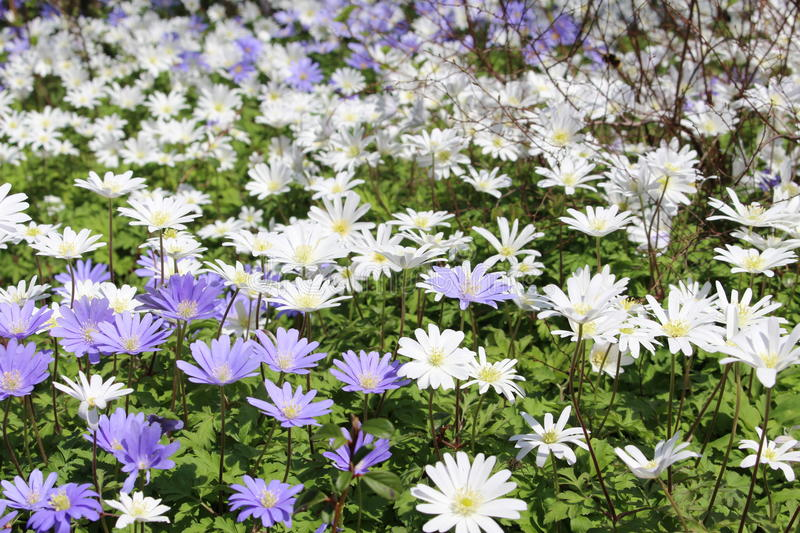 Grecian Windflowers - Anemone Blanda. Blue and white `Grecian Windflowers` or Balkan Anemone, Winter Windflower in St. Gallen, Switzerland. Its scientific name royalty free stock photo
