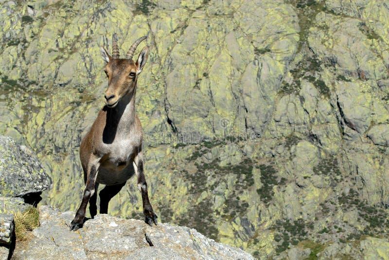 Download Gredos arkivfoto. Bild av getter, wild, djurliv, berg - 19782458
