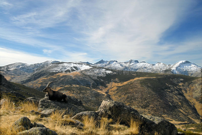 Download Gredos Landscape With Wildlife Stock Photo - Image of mountain, horns: 22543150