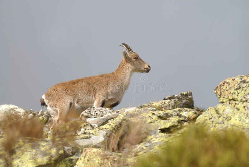 Download Gredos Mountains and fauna stock image. Image of animals - 18199175