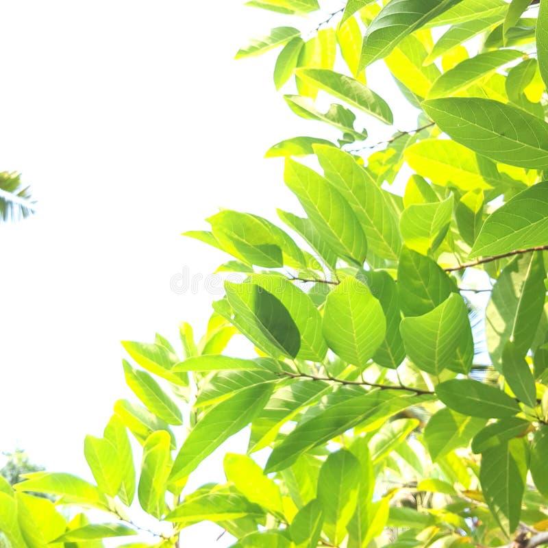 Gree blad arkivbild