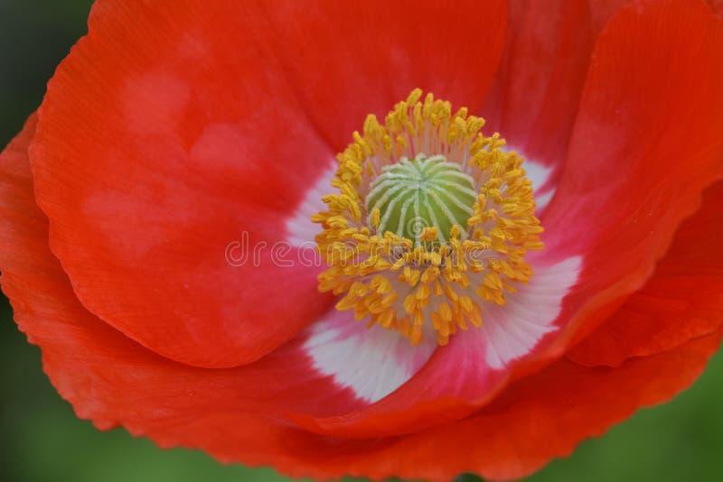 Gree Poppy Stigma Yellow Anther Orange Poppy Flower fotografia stock libera da diritti