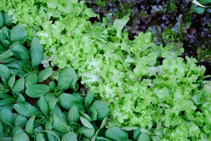 greeb red oak lettuce and baby bok choy chinese cabbage vegetable growing in farm stock image