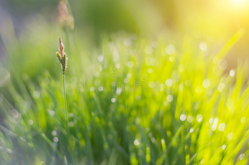 Greed grass in a dew. Close up shot with selective focus and beautiful natural bokeh. stock photos