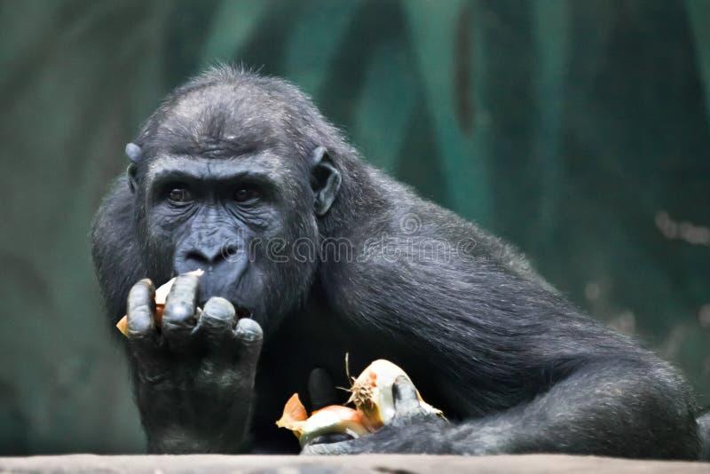 greed Retrato de emo??es expressivos de um gorila f?mea imagens de stock royalty free