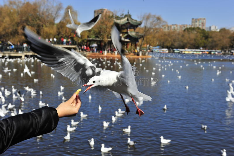 Download Greedy Seagull Royalty Free Stock Images - Image: 28479789