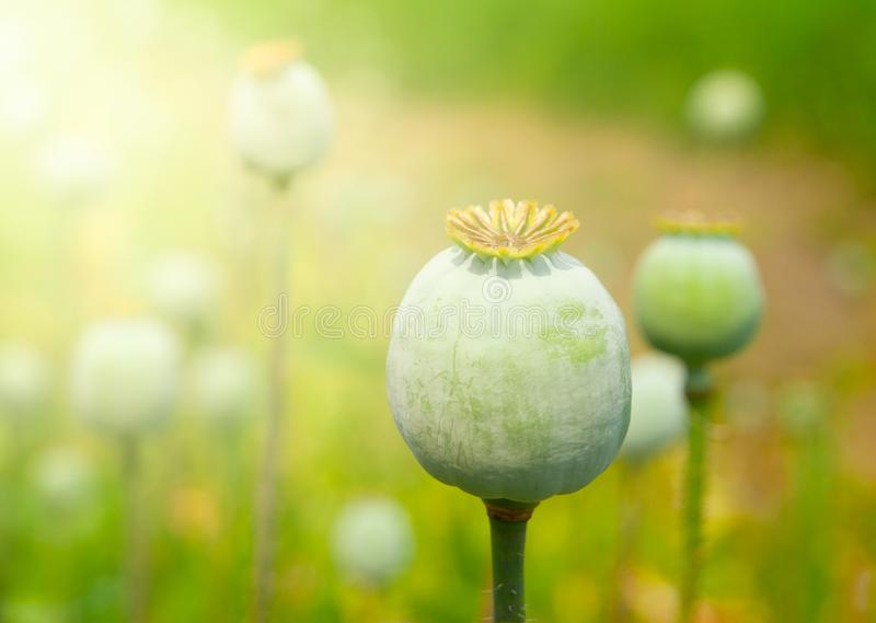 Greeen onrijpe poppyhead De drug van de broninstallatieopium royalty-vrije stock afbeelding