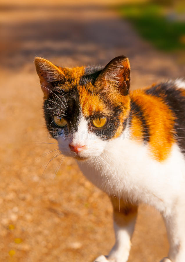 A Greek cat. Beautiful domestic cat at Peleta village in southern Peloponnese in Greece royalty free stock images