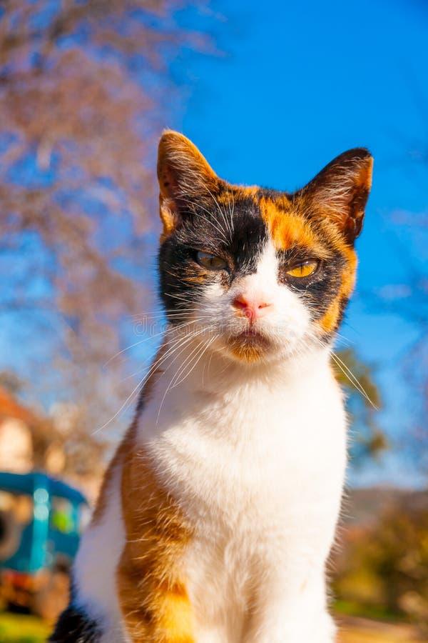 A Greek cat. Beautiful domestic cat at Peleta village in southern Peloponnese in Greece royalty free stock photo