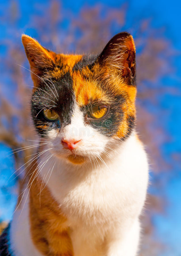 A Greek cat. Beautiful domestic cat at Peleta village in southern Peloponnese in Greece royalty free stock image
