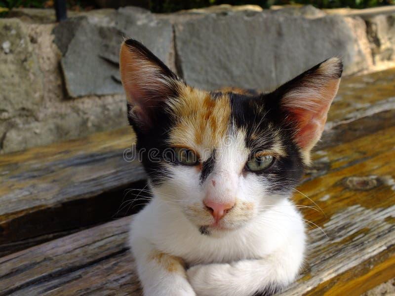 Greek cat royalty free stock photography