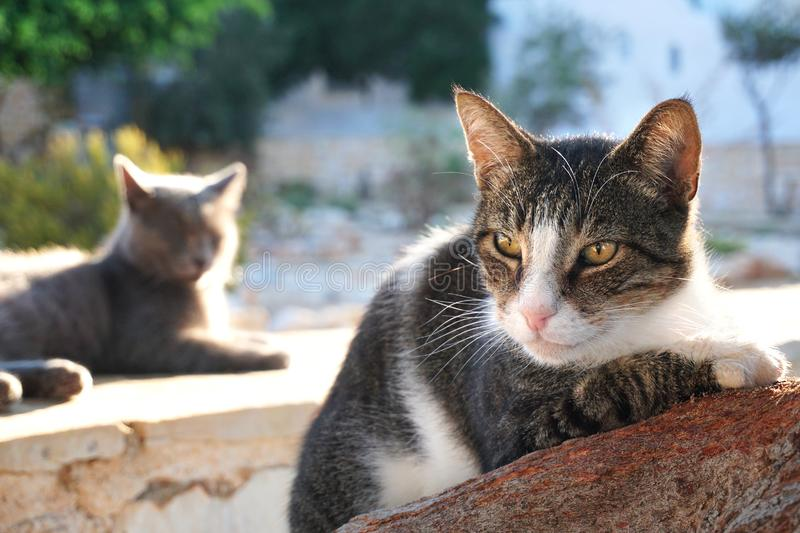 Greek cats in the port of Lefkes in Paros. Greece fur home kitty bed eyes outside pet healthy sitting cute gray grass nature portrait fluffy spring natural stock photography