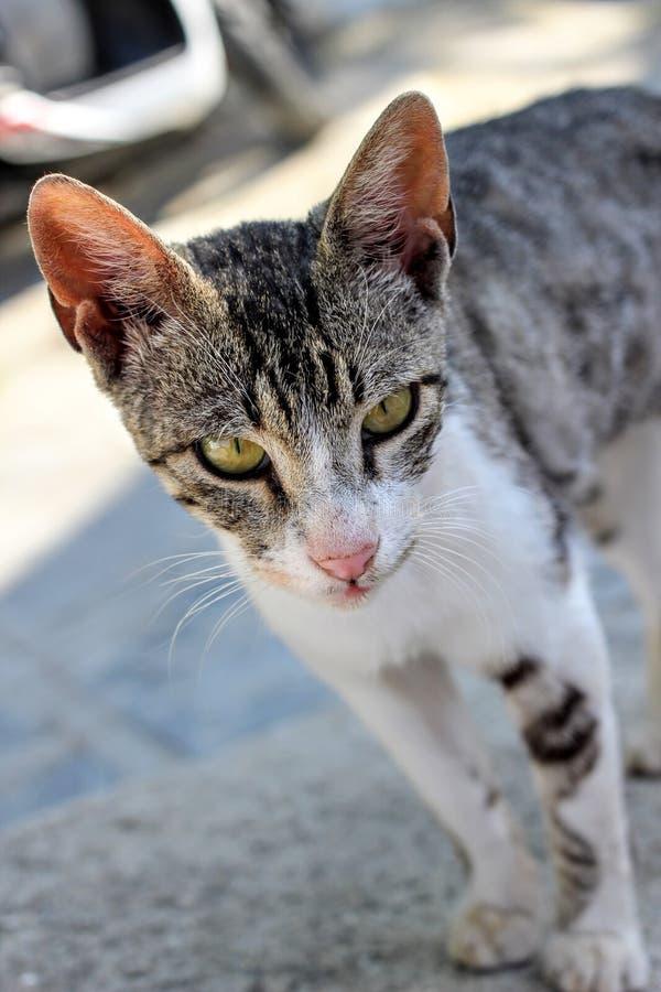 Greek Feral Kitten. Feral kitten following photographer through narrow streets in Lindos royalty free stock photo