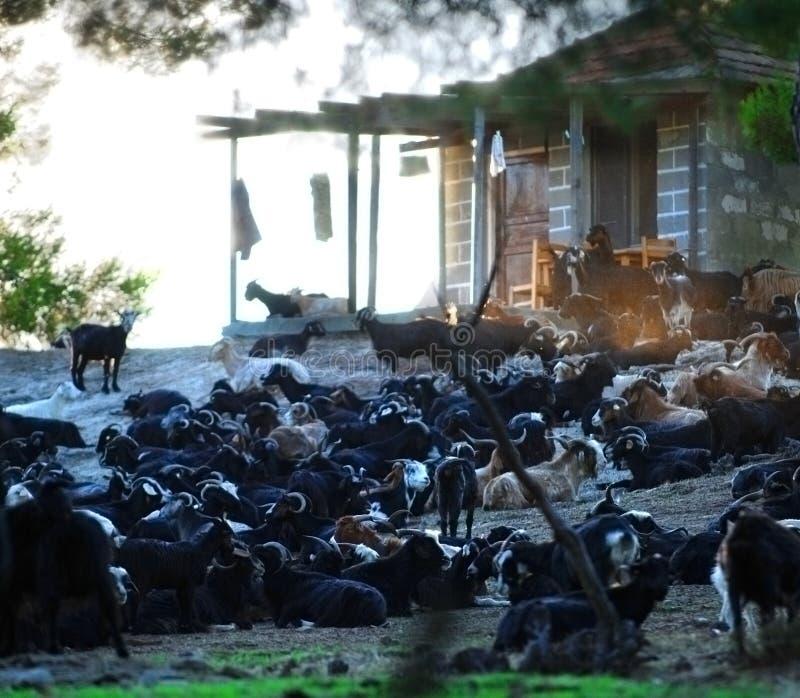 Download Greek goat farm stock photo. Image of livestock, domestic - 3075494