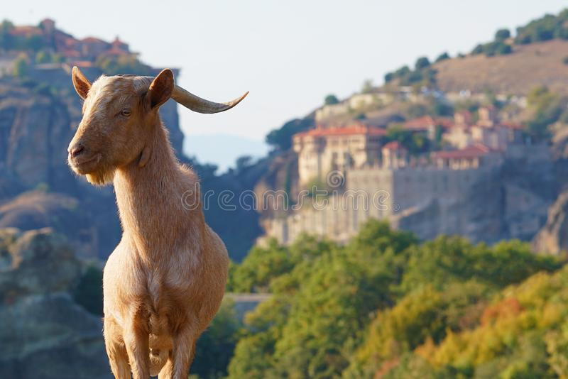 Greek goats roam free on the rugged rock formations of Meteora with the Monasteries in the background royalty free stock image