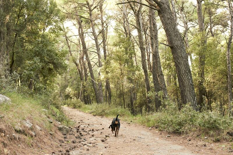 Greek hound dog walking in a forest surrounded by tall green trees royalty free stock photo