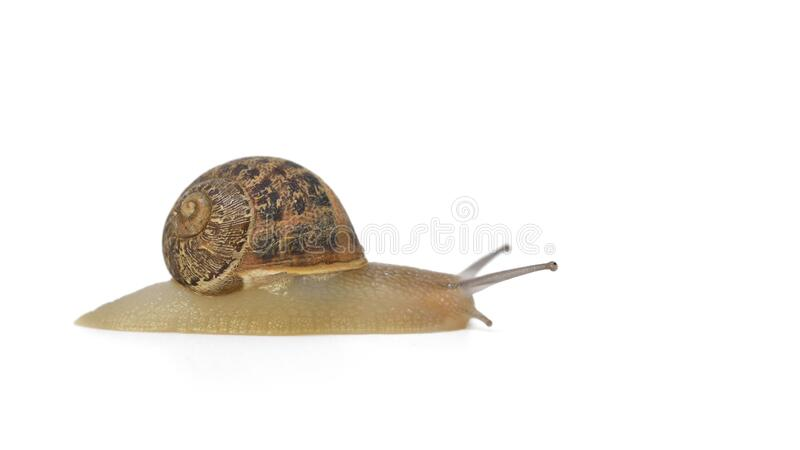 Cornu aspersum, Crete. A studio shot of Cornu aspersum, known by the common name garden snail, is a species of land snail, Crete stock images