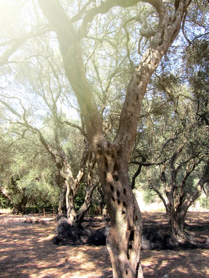 Greek olive grove detail holiday. Corfu stock images