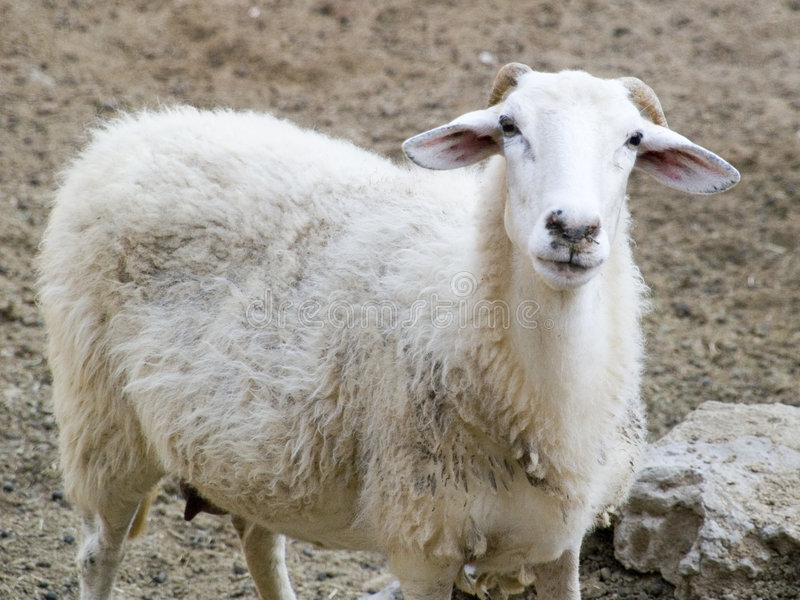 Greek sheep stock photo