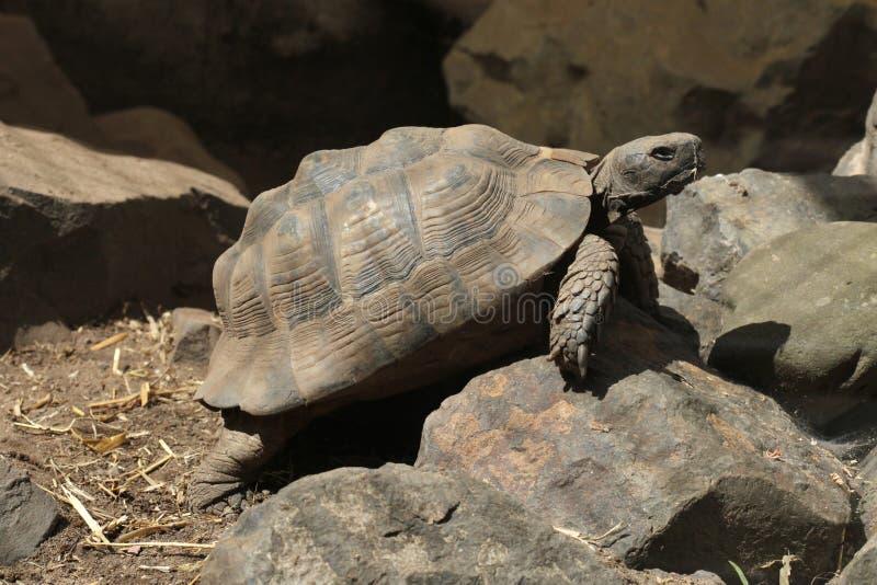 Greek tortoise (Testudo graeca). Greek tortoise (Testudo graeca), also known as the spur-thighed tortoise. Wild life animal royalty free stock photo