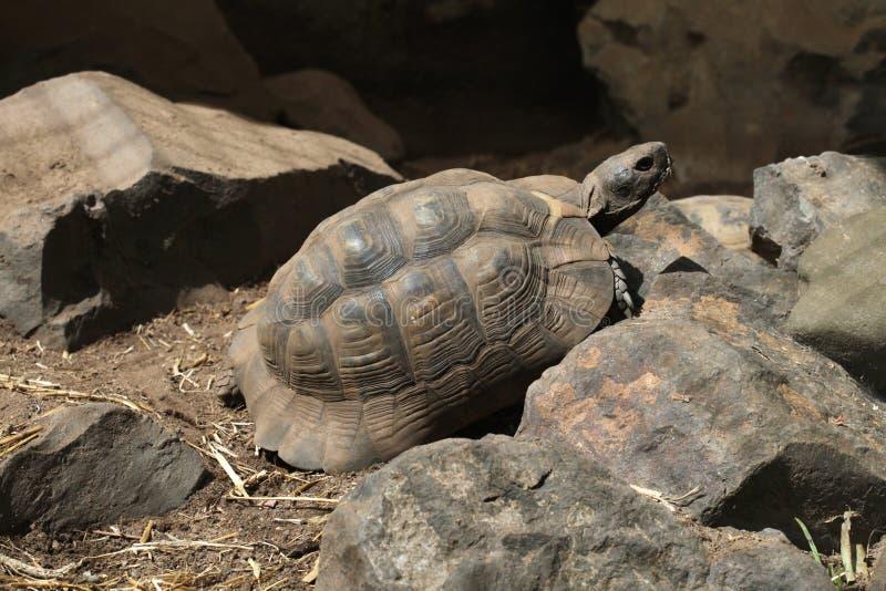 Greek tortoise (Testudo graeca). Greek tortoise (Testudo graeca), also known as the spur-thighed tortoise. Wild life animal stock image