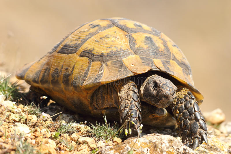 Greek turtoise walking on natural habitat stock photos