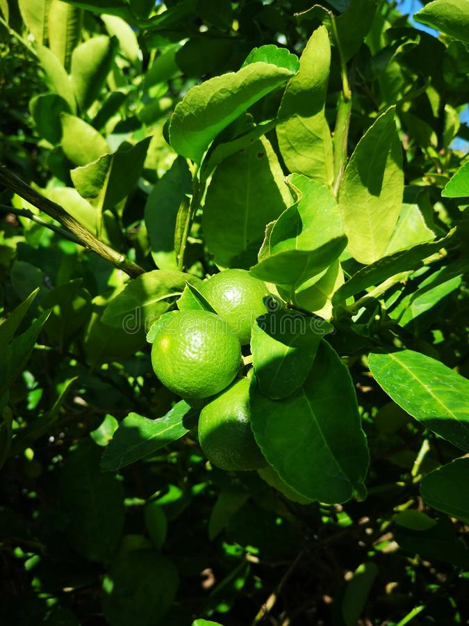 green†‹Kalk, lemom tree†‹plant†‹ lizenzfreie stockfotografie