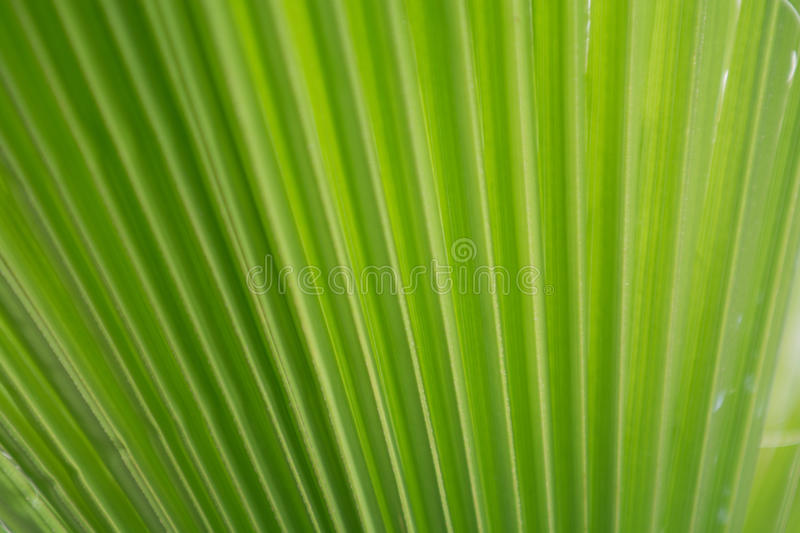 Green palm leaf background from close up palm leaf stock image