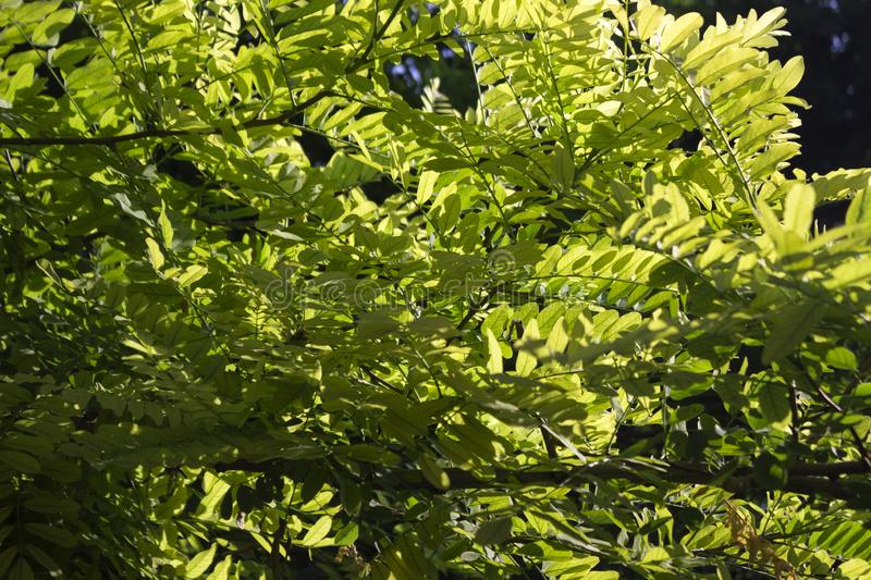 Green acacia leaves on the background of sunlight stock photo
