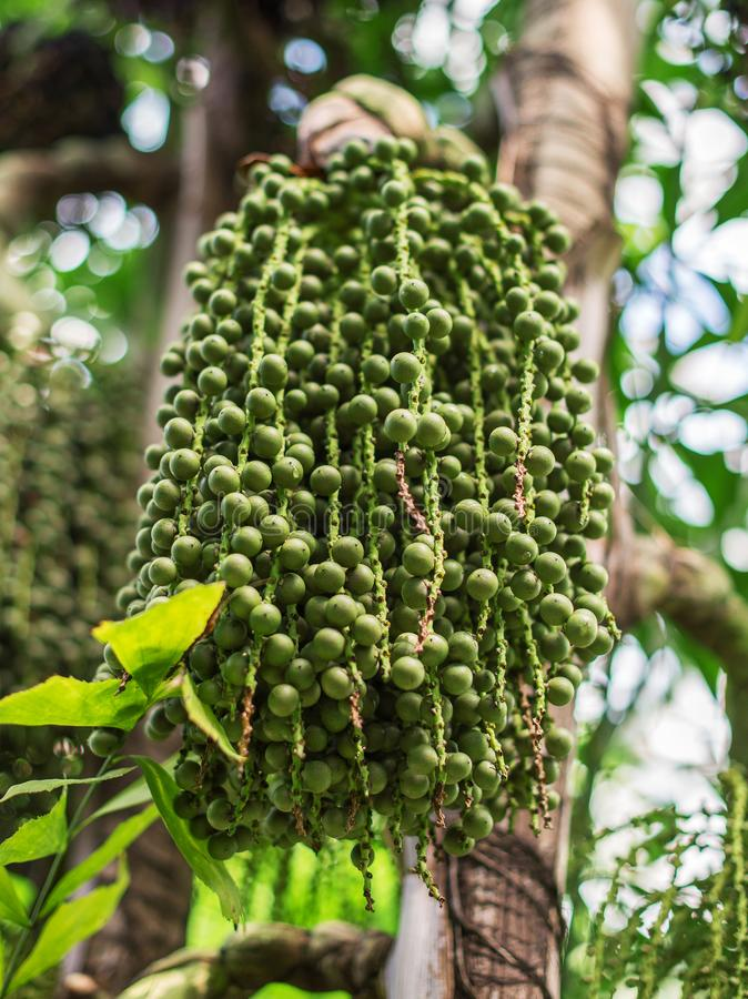 Green Acai. Green Acai berries on palm tree. Euterpe oleracea royalty free stock images