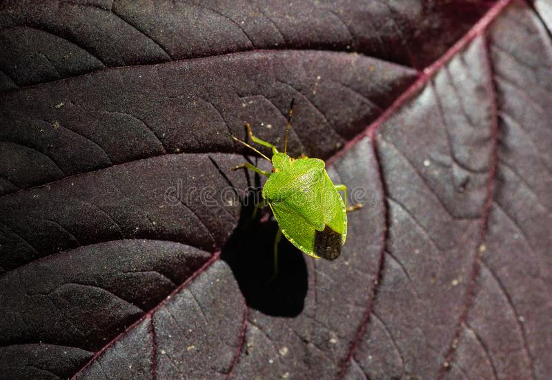Green Acanthosoma labiduroides insect close macro royalty free stock photos