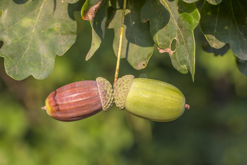 Green acorn stock image