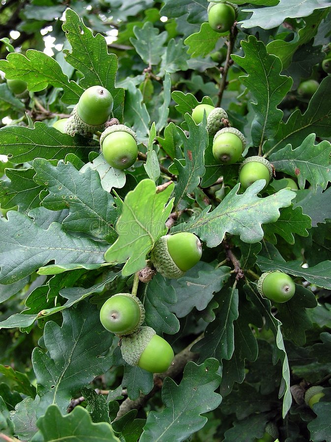 Download Green Acorns stock image. Image of fruiting, leafy, woodland - 1445883
