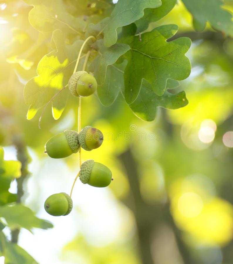 Green acorns in the tree stock images