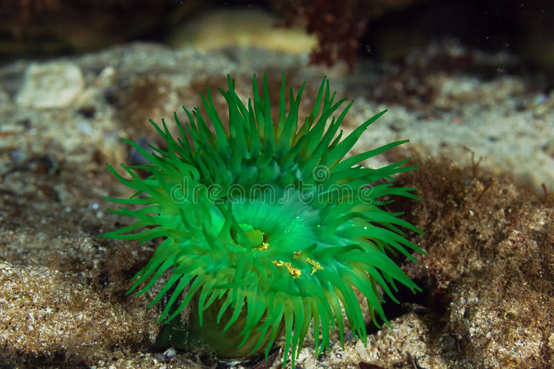Green actinia. Black Sea Green actinia (Actinia equina) on the stone royalty free stock images