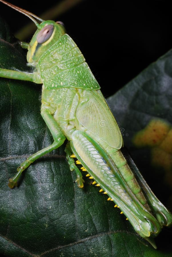 A green adult Scudder`s short-wing grasshopper royalty free stock images